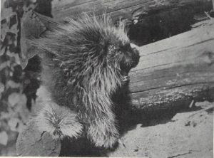 Outing porcupine photo 1